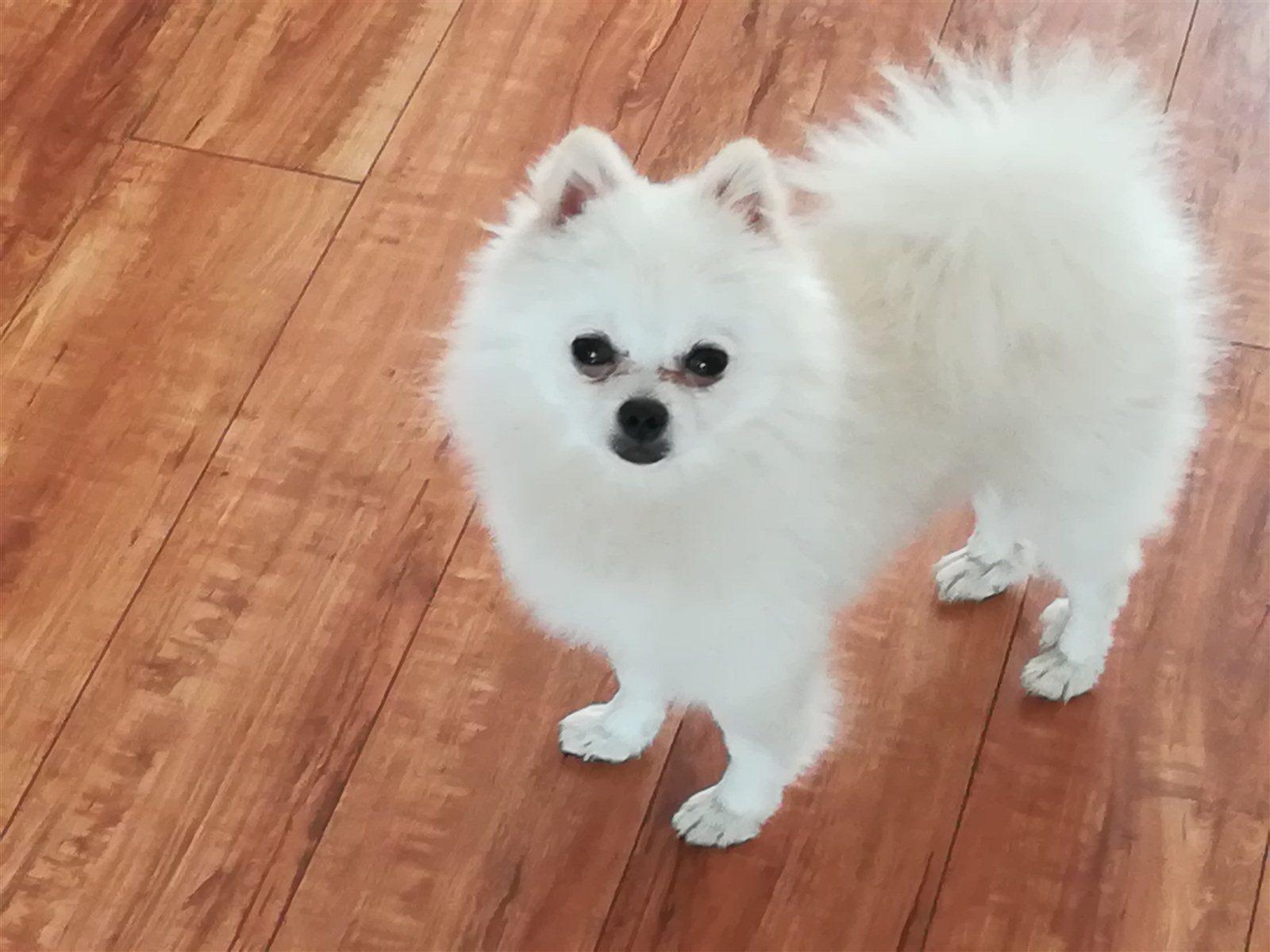 純白色袖珍寵物狗