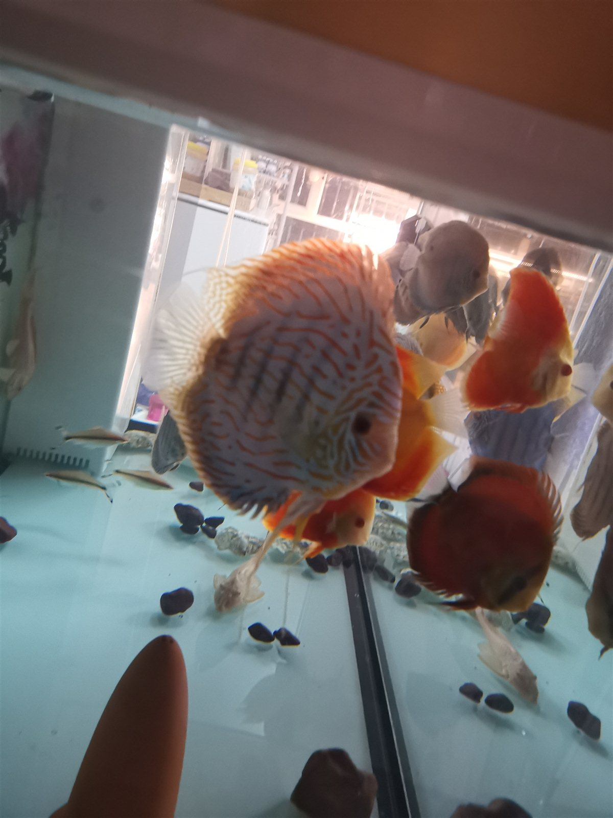 七彩神仙魚