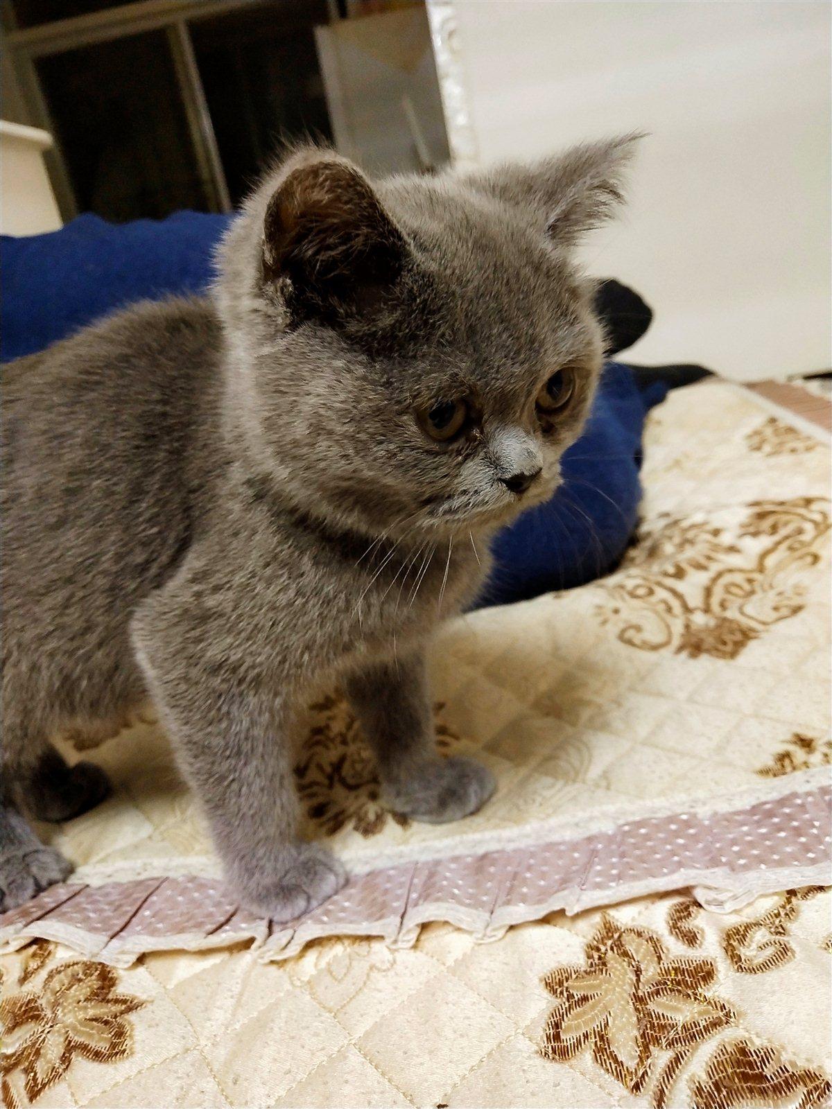 出售自家養的藍貓一只