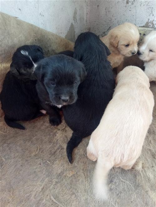 出售拉布拉多幼犬350一只可讲