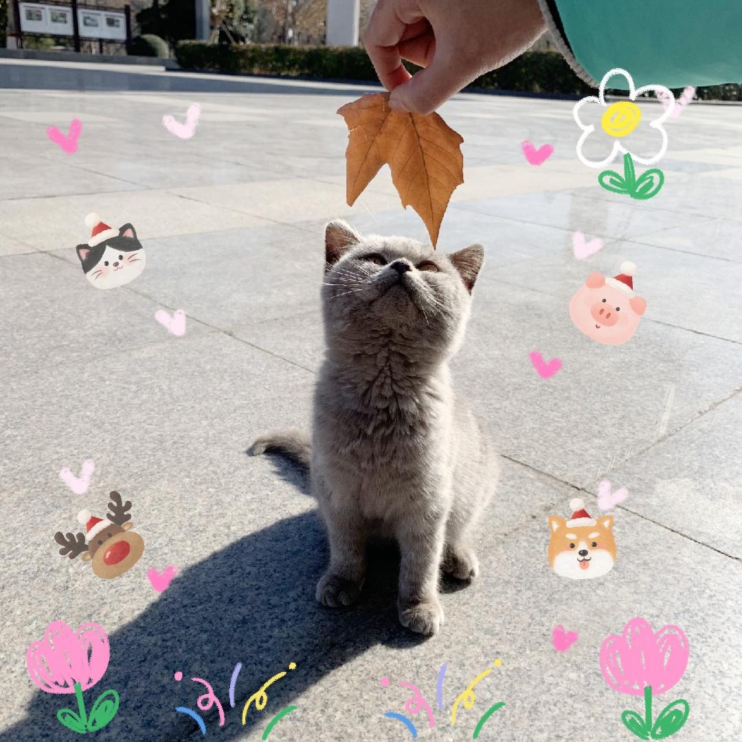英短蓝猫找新家