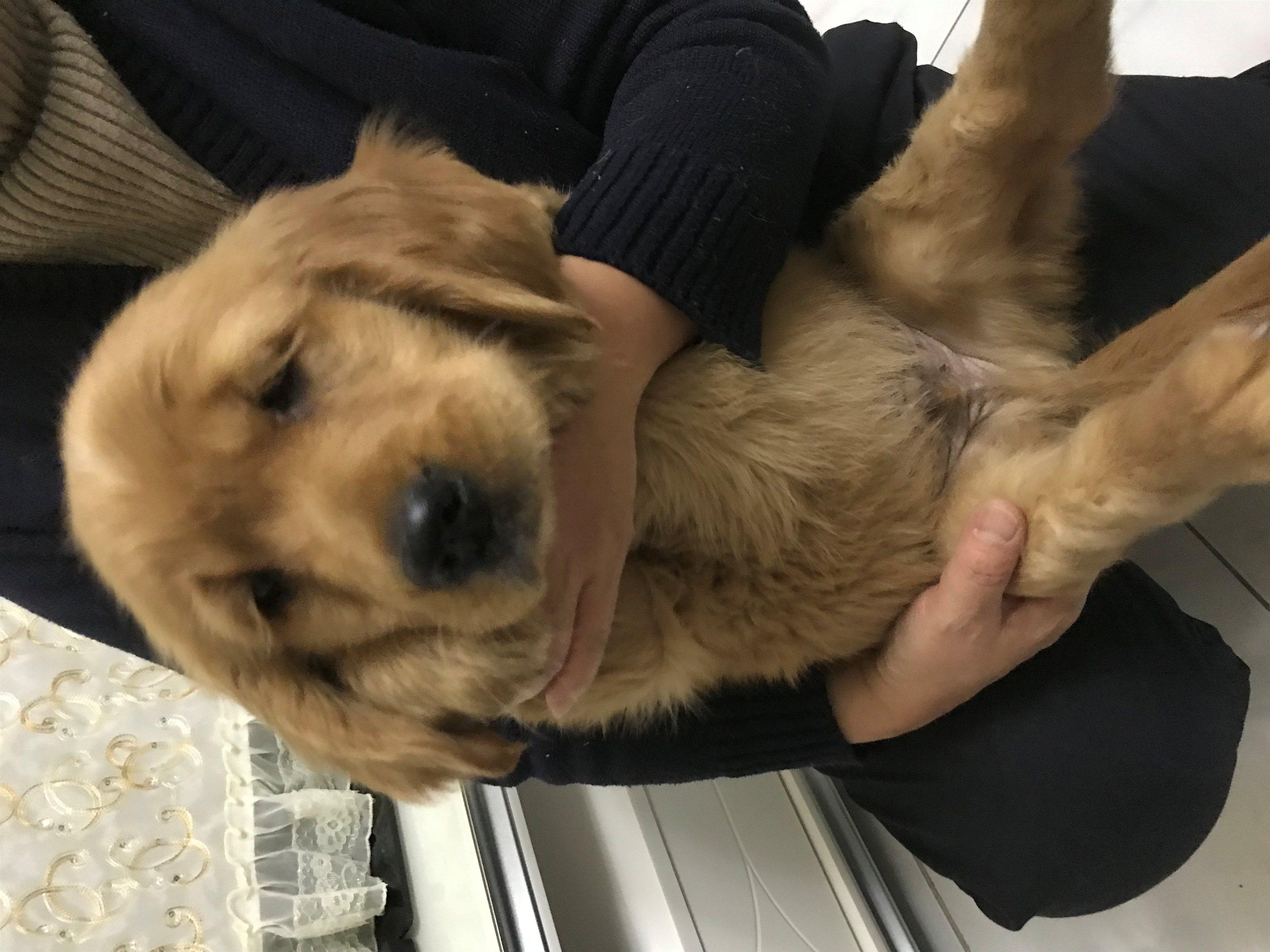 出售純種金毛幼犬