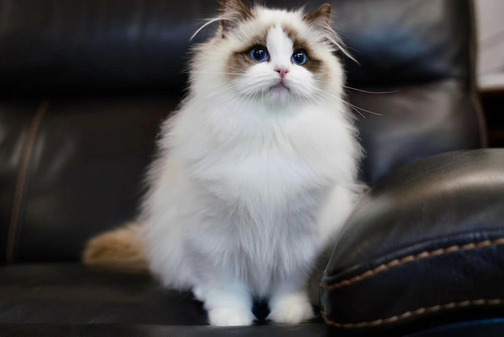 美短猫,蓝猫,渐层猫,布偶猫,找新家
