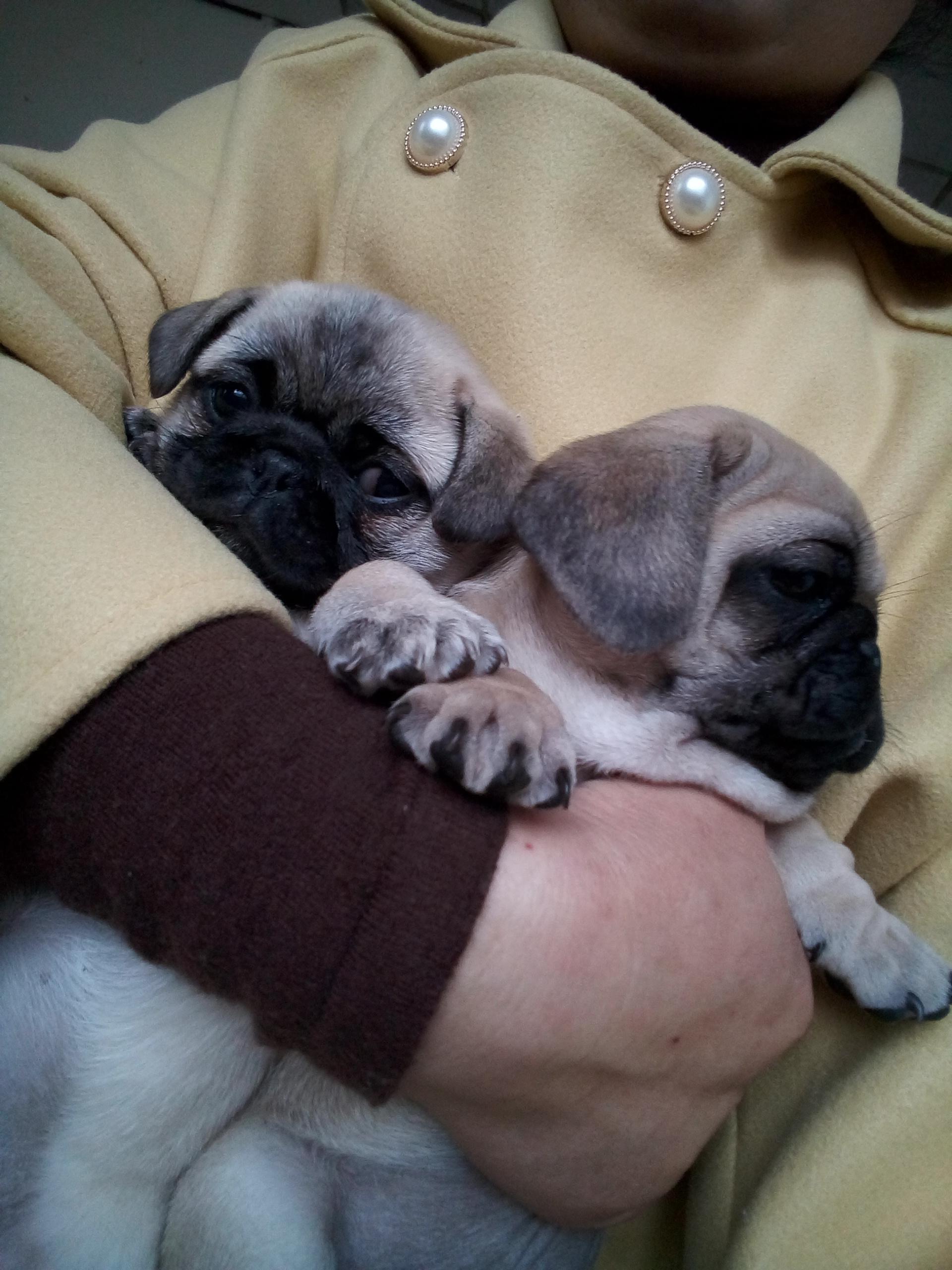 出售巴哥犬一公一母