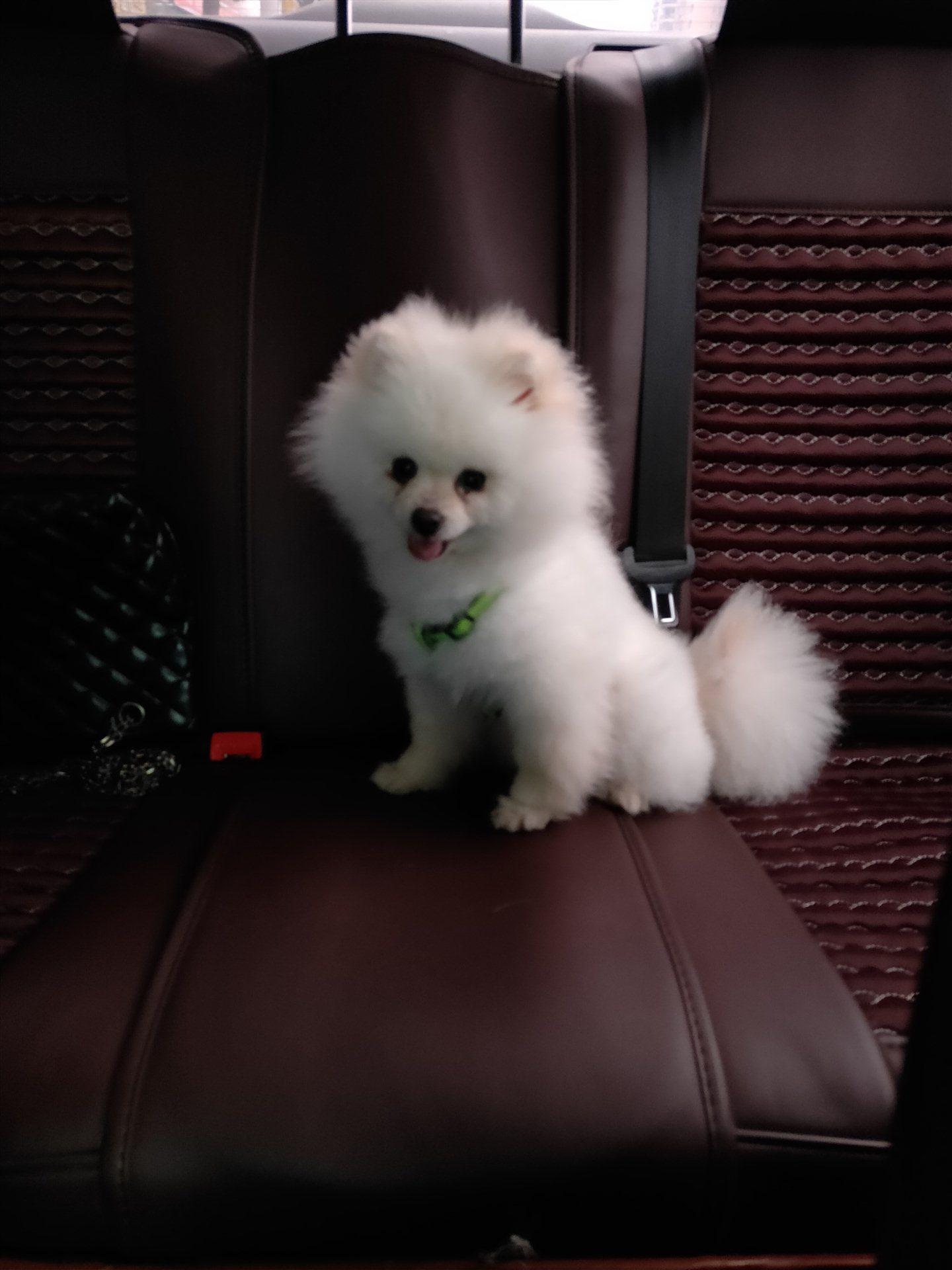 出售博美(母犬9月齡)