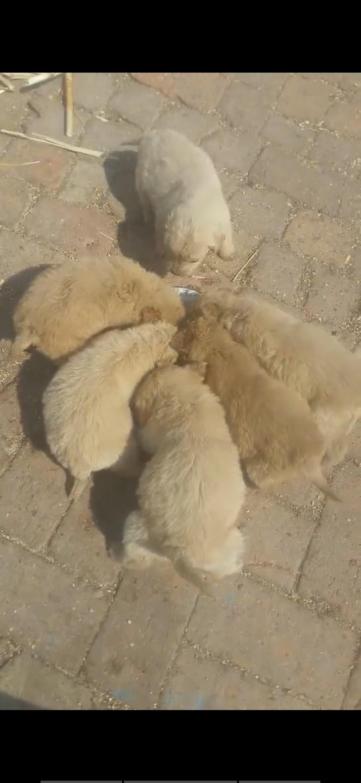 賣一個月純種金毛幼犬,數量有限,預購從速