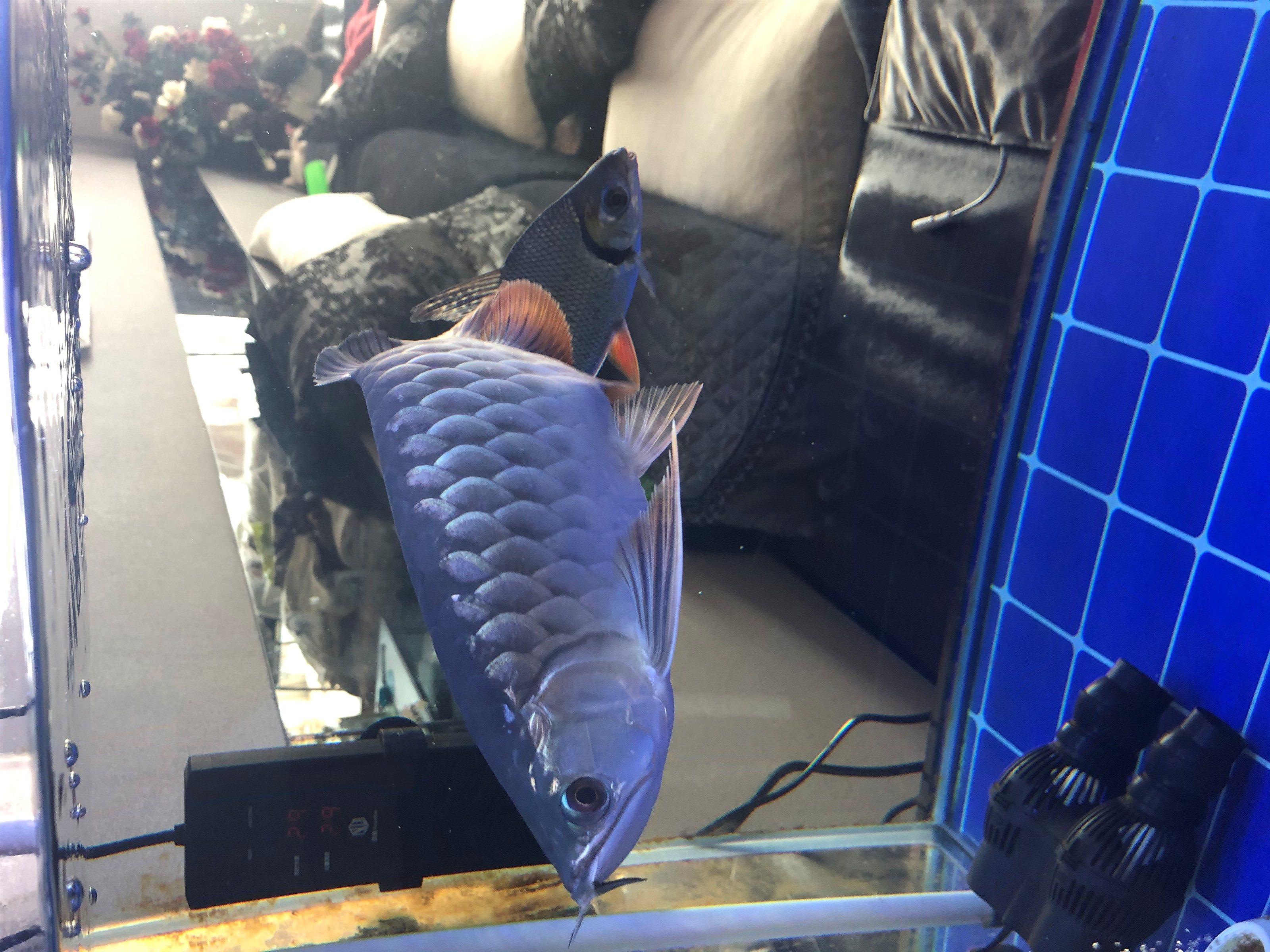 金龙鱼出售