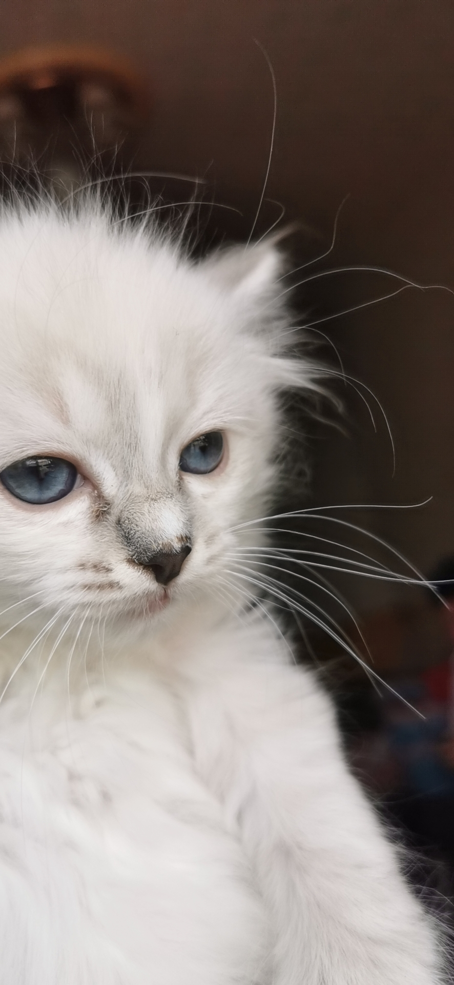 布偶貓母:2200