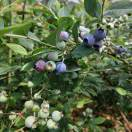 东江长排蓝莓采摘园