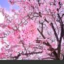 东京的樱花飘满巴黎
