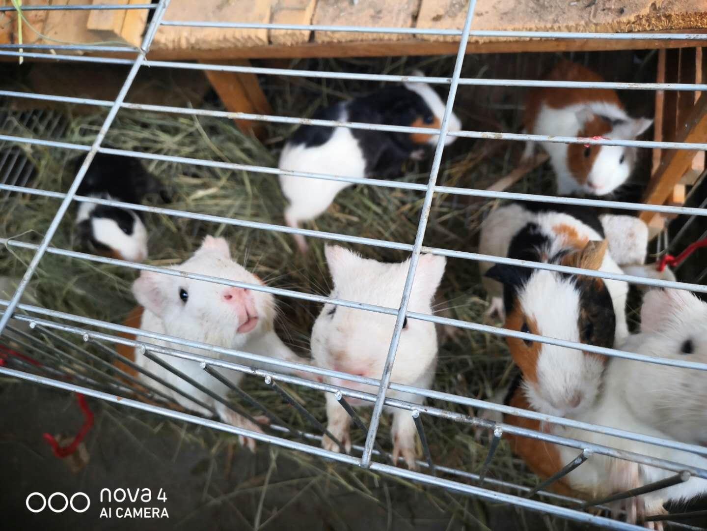荷兰猪出售