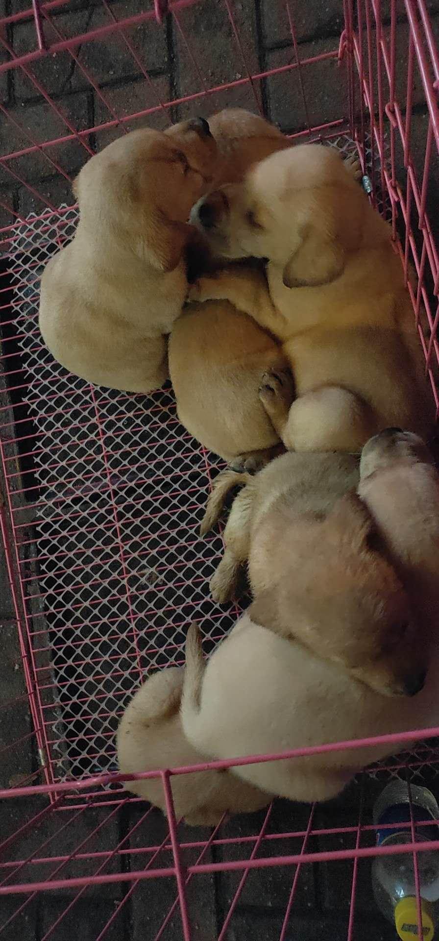 出售純種拉布拉多犬