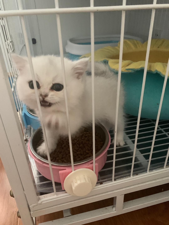蓝猫宝宝出售