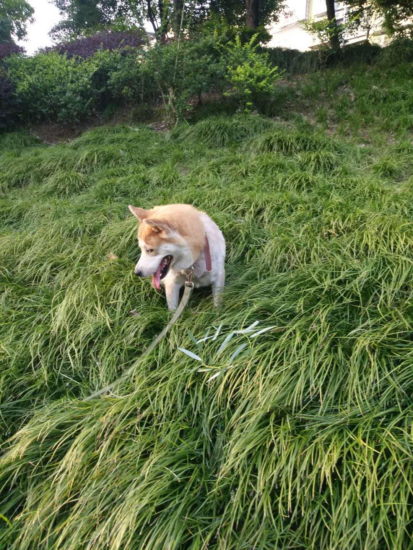 狗狗找原來主人
