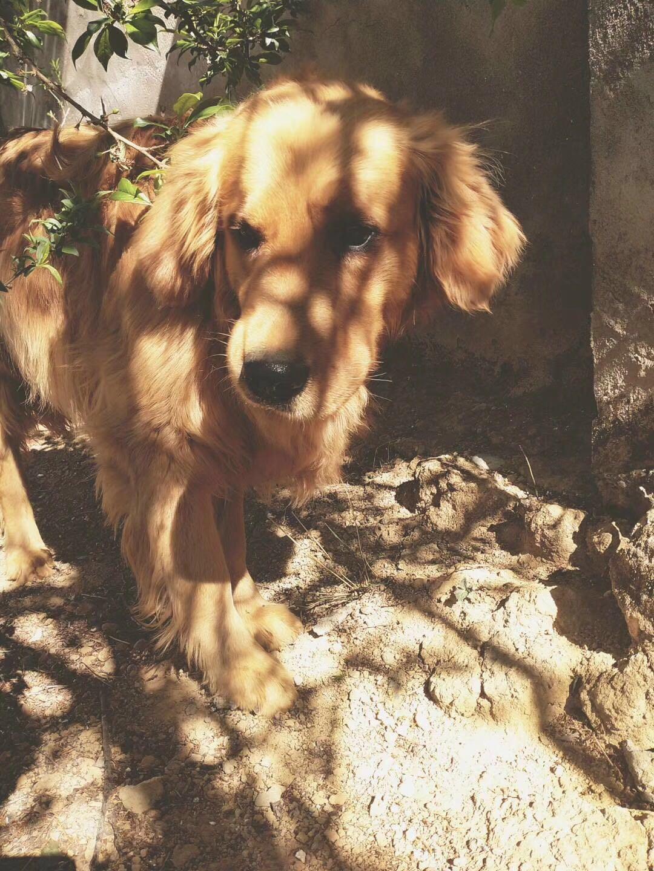黄色金毛寻回犬。