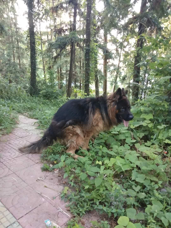 德国长毛牧羊犬