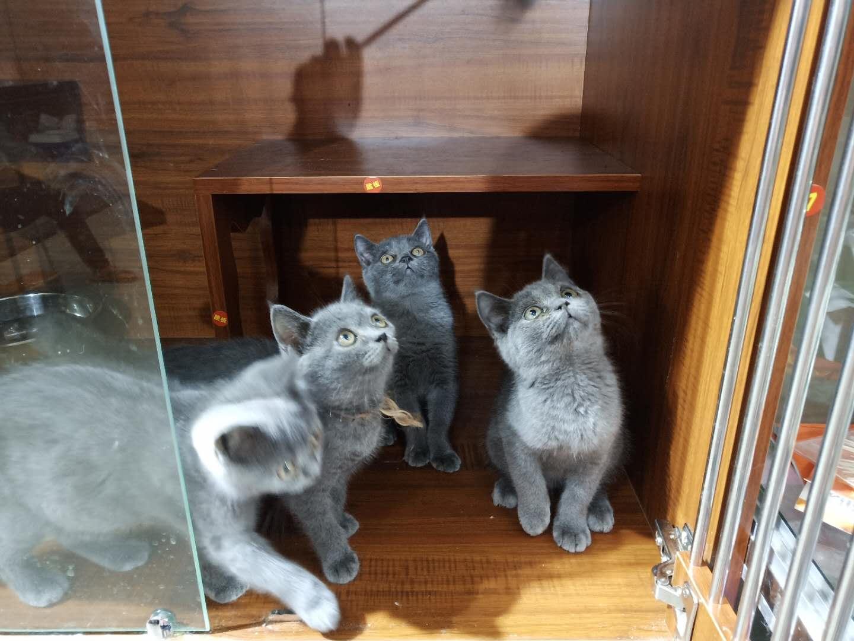大包子臉藍貓
