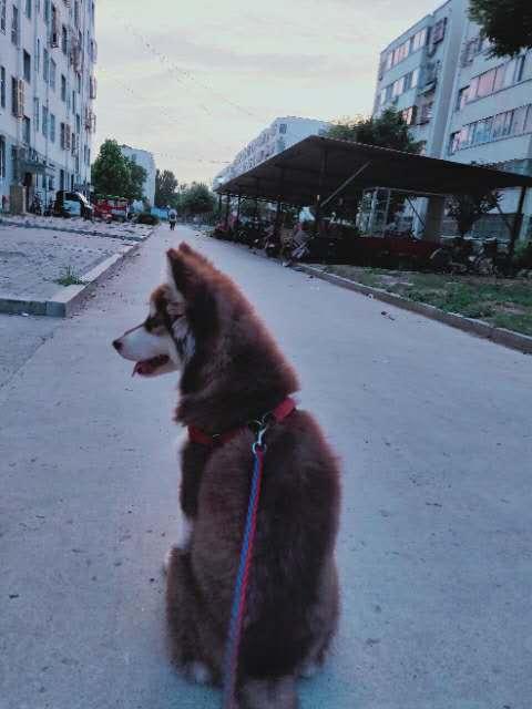 阿拉斯加母狗,四個月