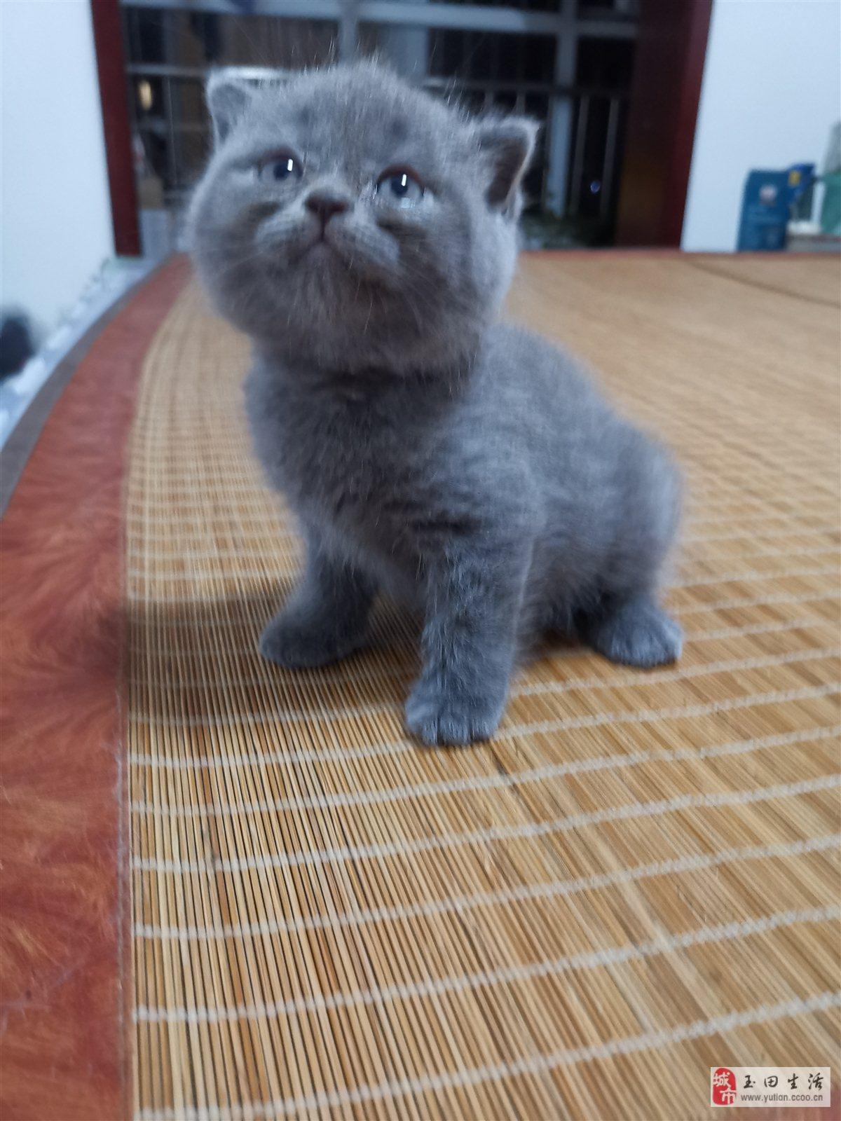 英短藍貓幼崽和大母出售