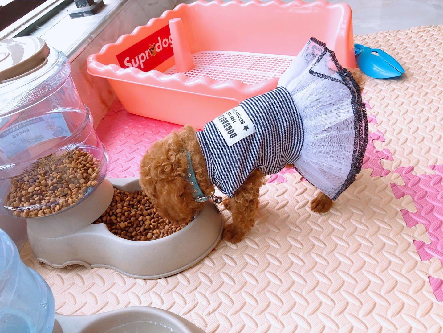 超級可愛的泰迪狗