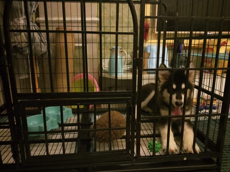 四個月阿拉斯加送養狗一切裝備