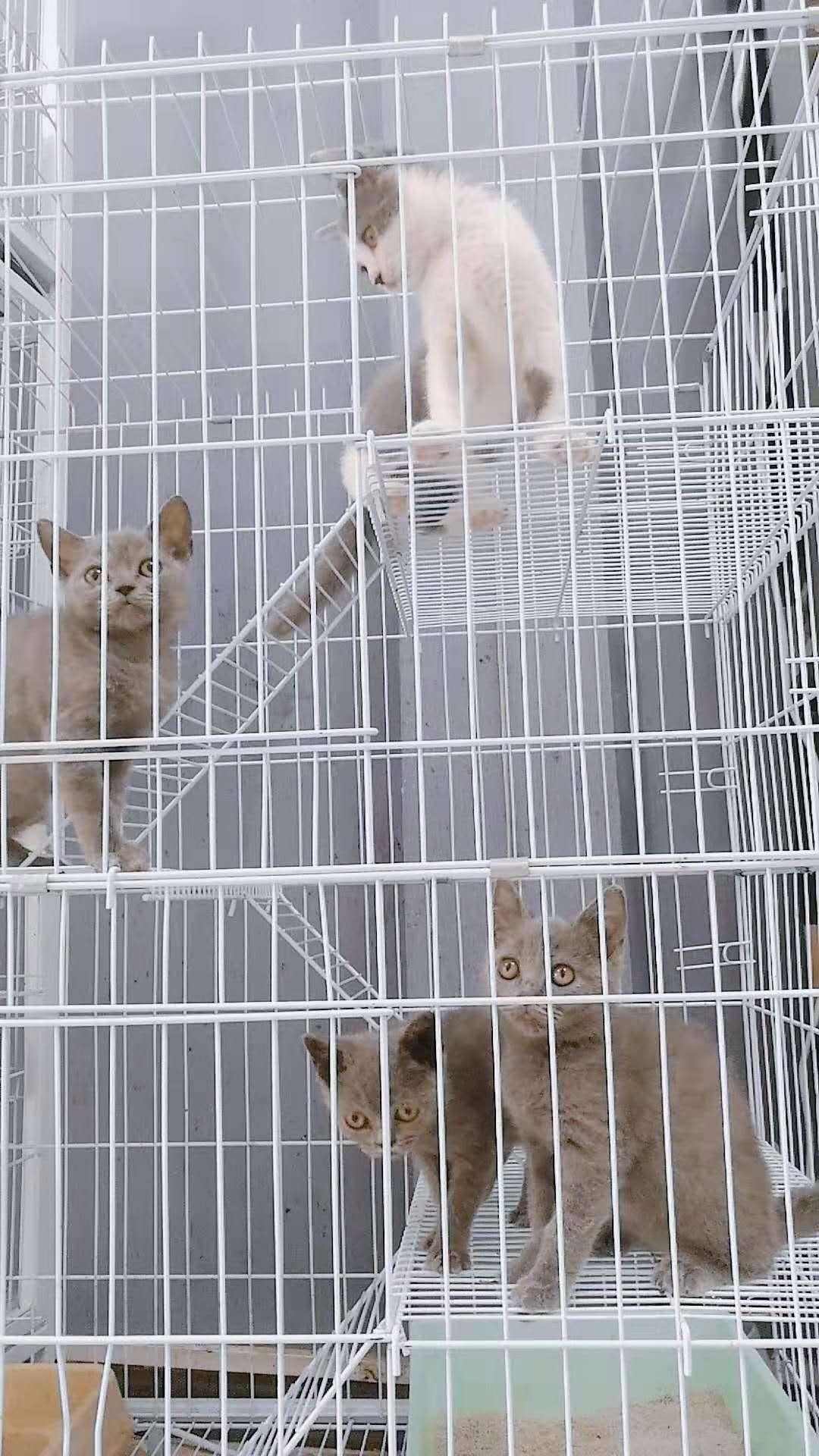 出售貓咪藍貓藍白