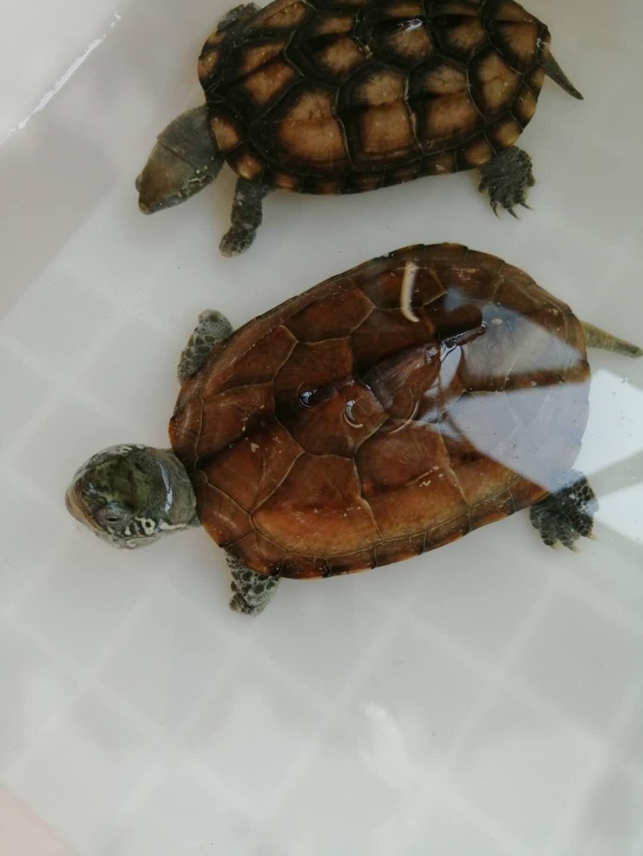 兩母中華草龜