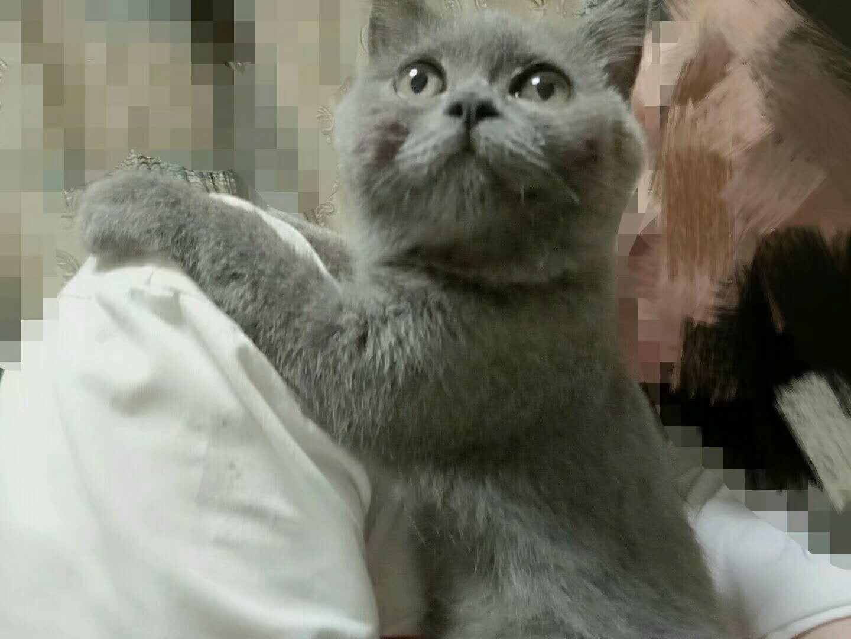 英短蓝猫找主人