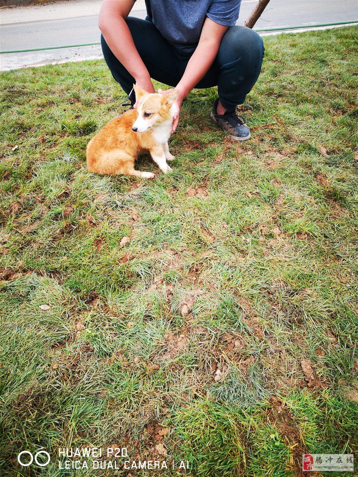 在火山路捡到一条柯基犬