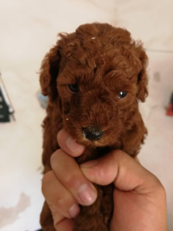 紅泰迪幼犬