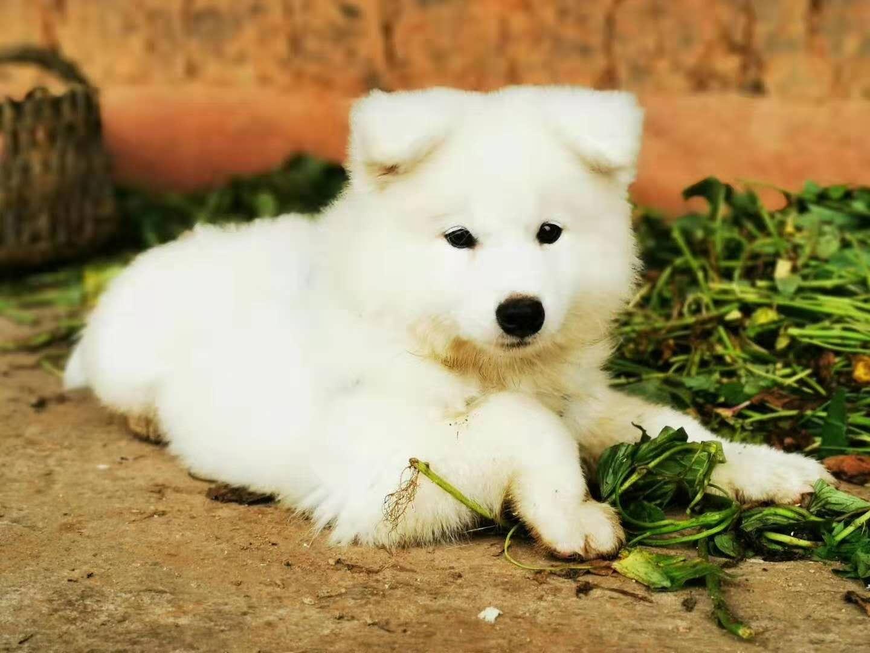纯种萨摩耶雪橇犬微笑天使有偿领养