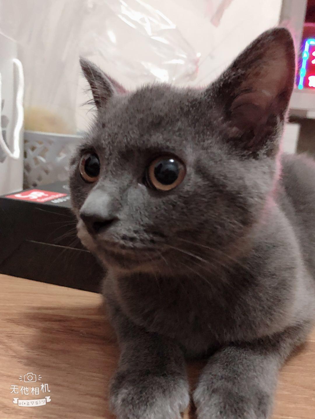 蓝猫弟弟一只