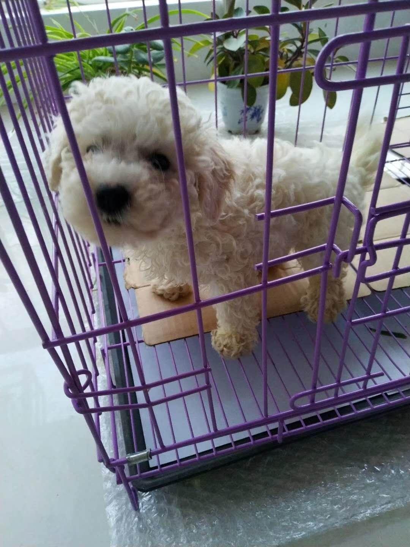 比熊公幼犬350超低价出售,赠狗粮大笼子