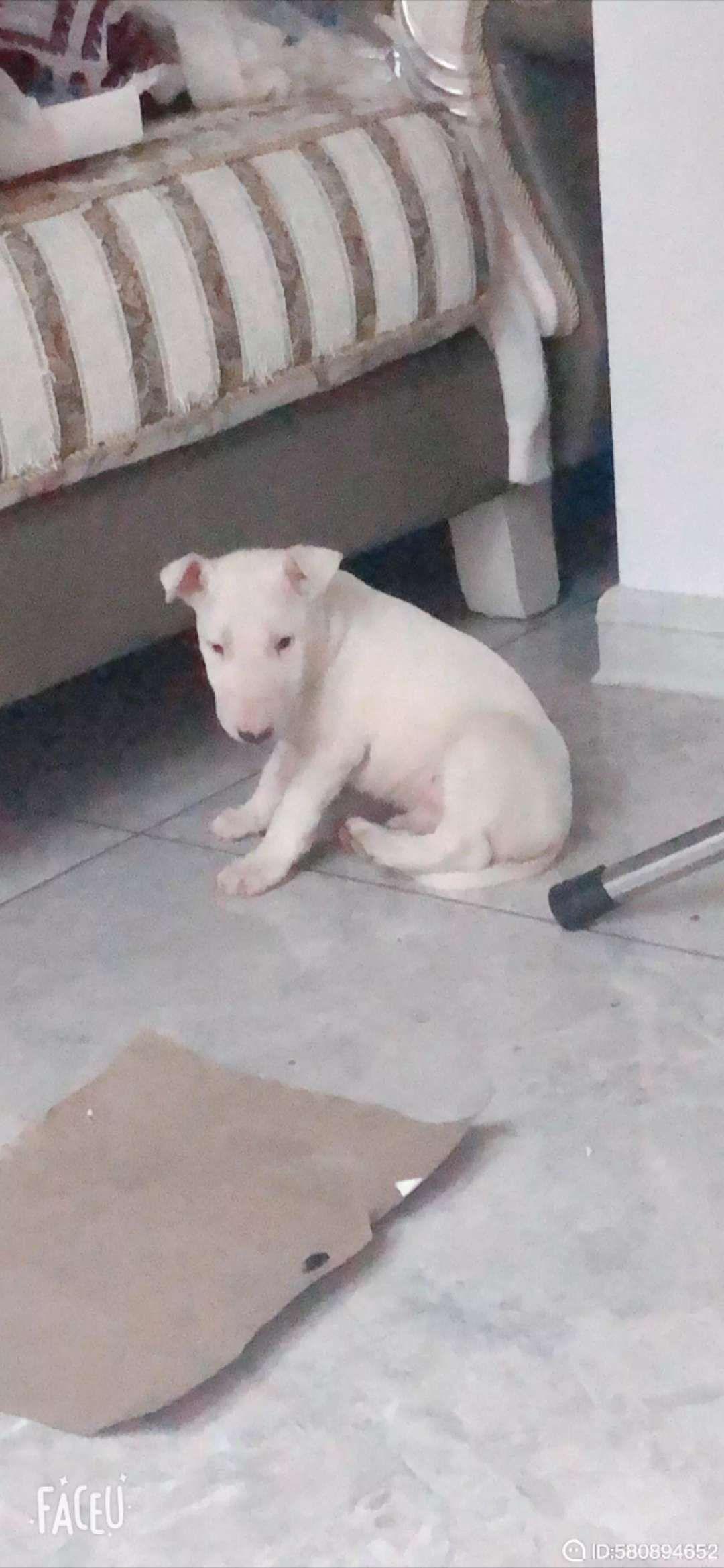 牛頭梗,公狗,兩個月大