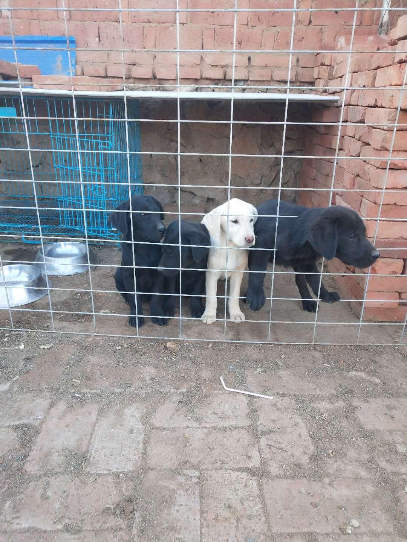 出售纯种拉布拉多幼犬