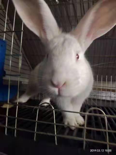 伊拉肉兔种兔