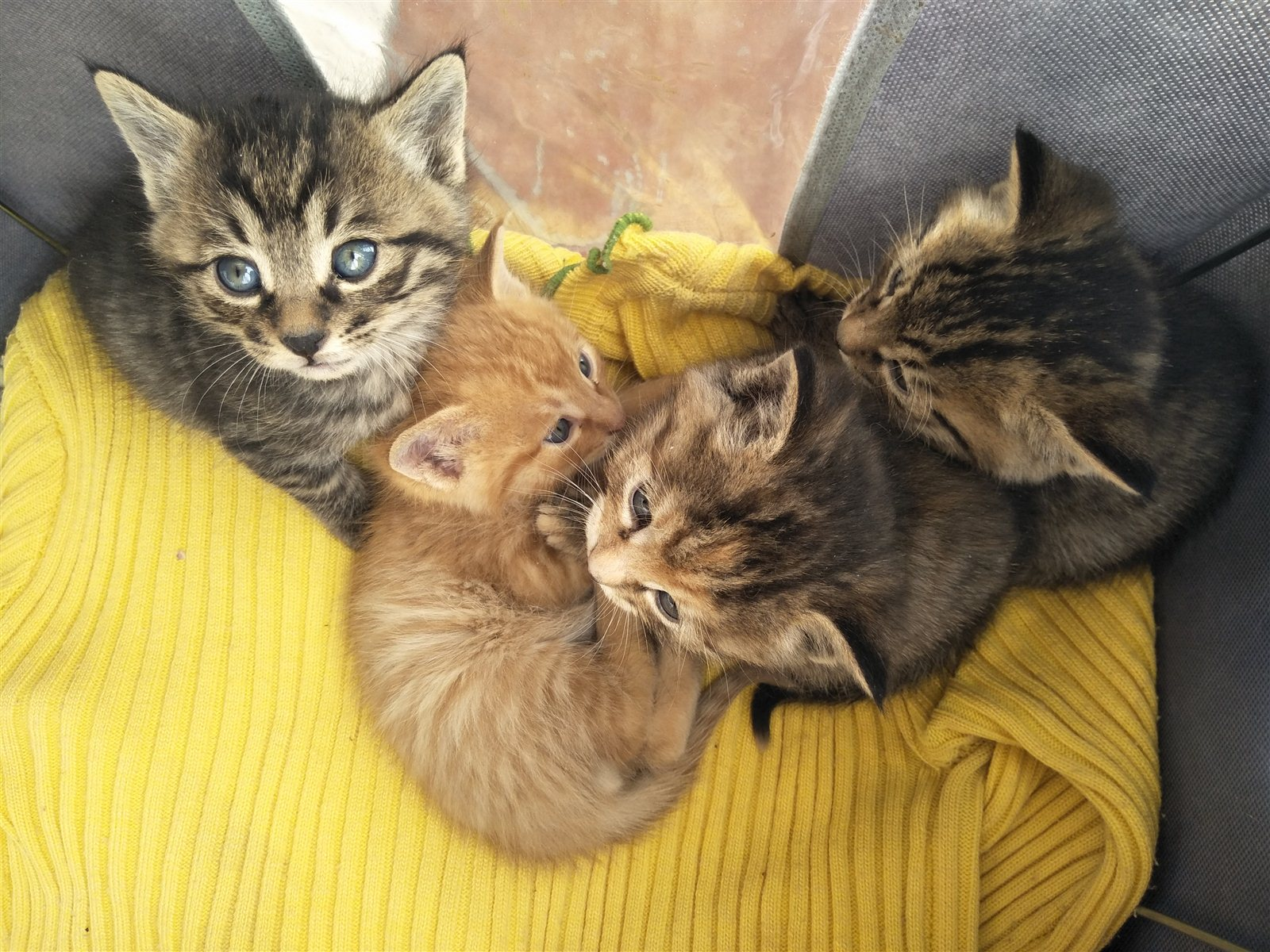 剛滿月小貍貓求愛心人士領養