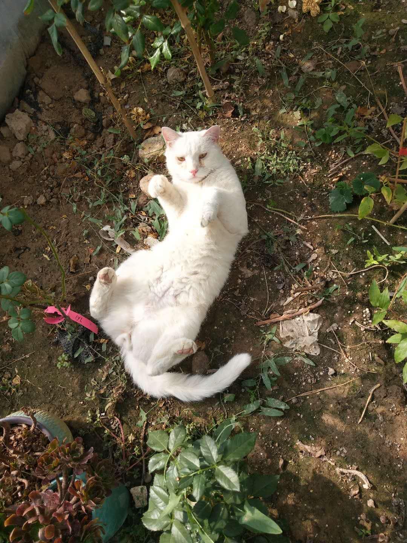 尋找我家白貓,13993755550