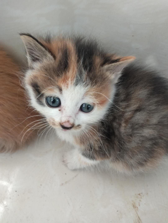 中華田園貓