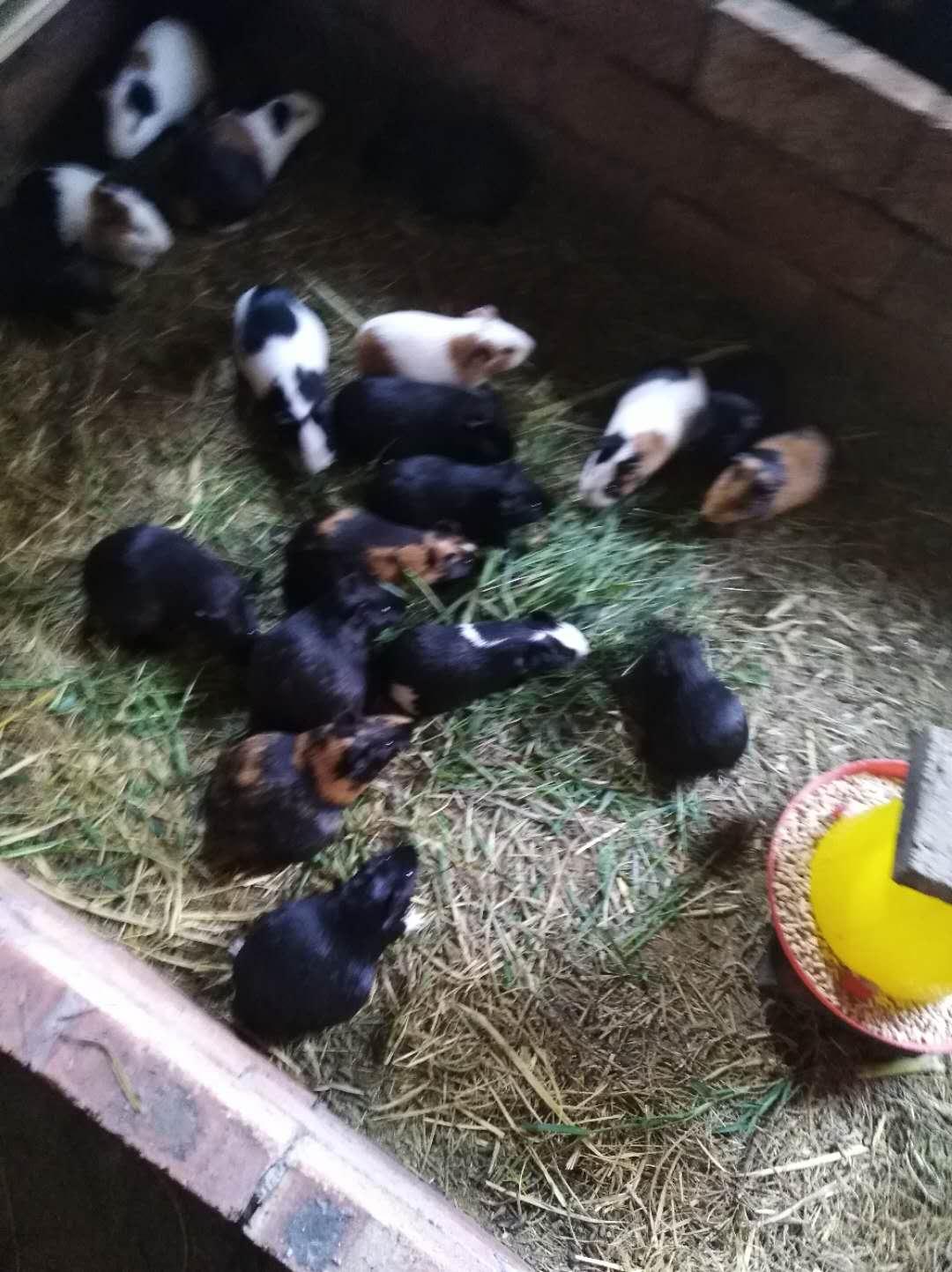 大量豚鼠养殖