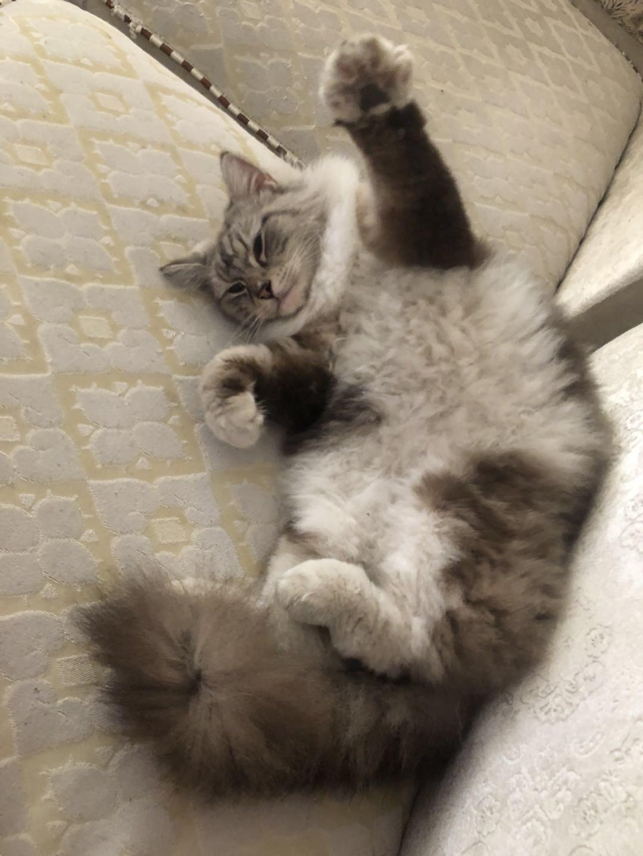 丟失一只布偶貓