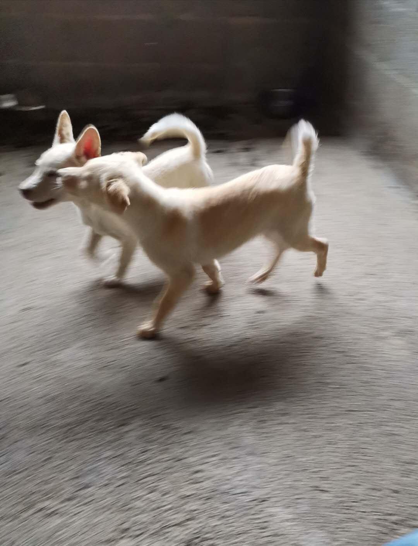 出售兩只小狗
