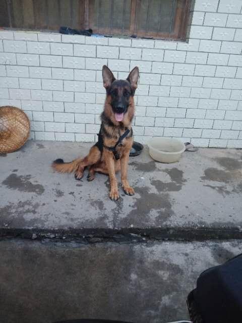 德牧公 1歲半,對外配狗 給錢給小狗都