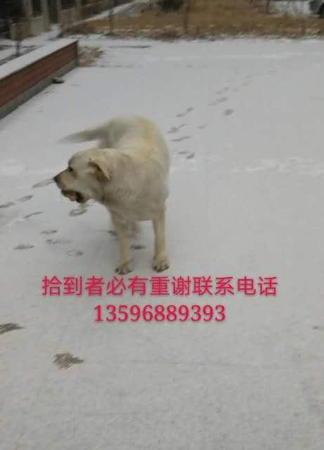 寻找爱犬(大熊)