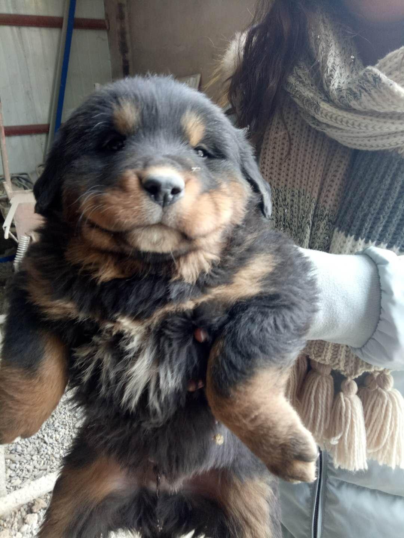 纯种藏獒幼犬刚满月6只,有需要的联系