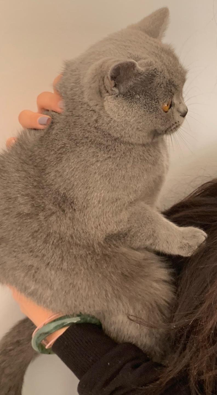 英短蓝猫 便宜出
