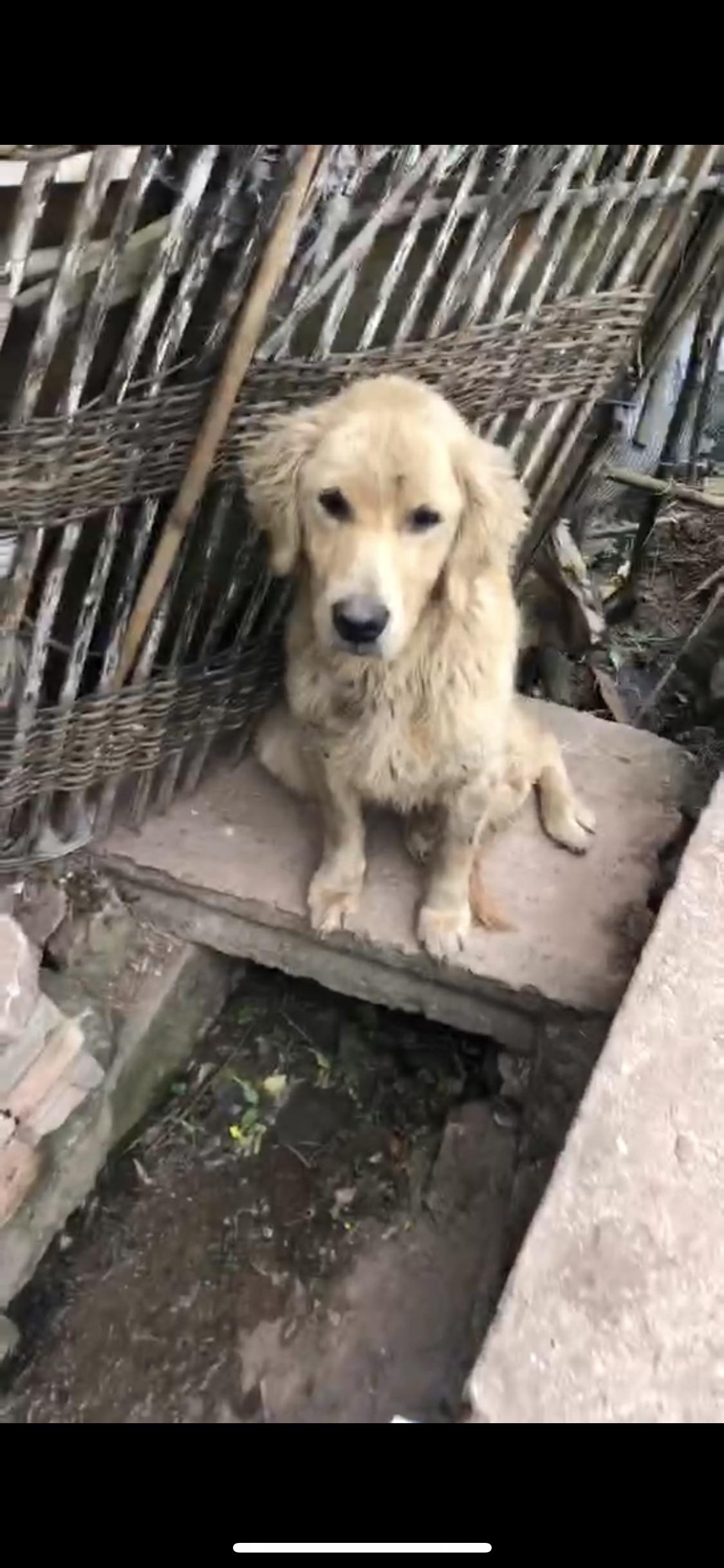 金毛流浪狗 免費領養