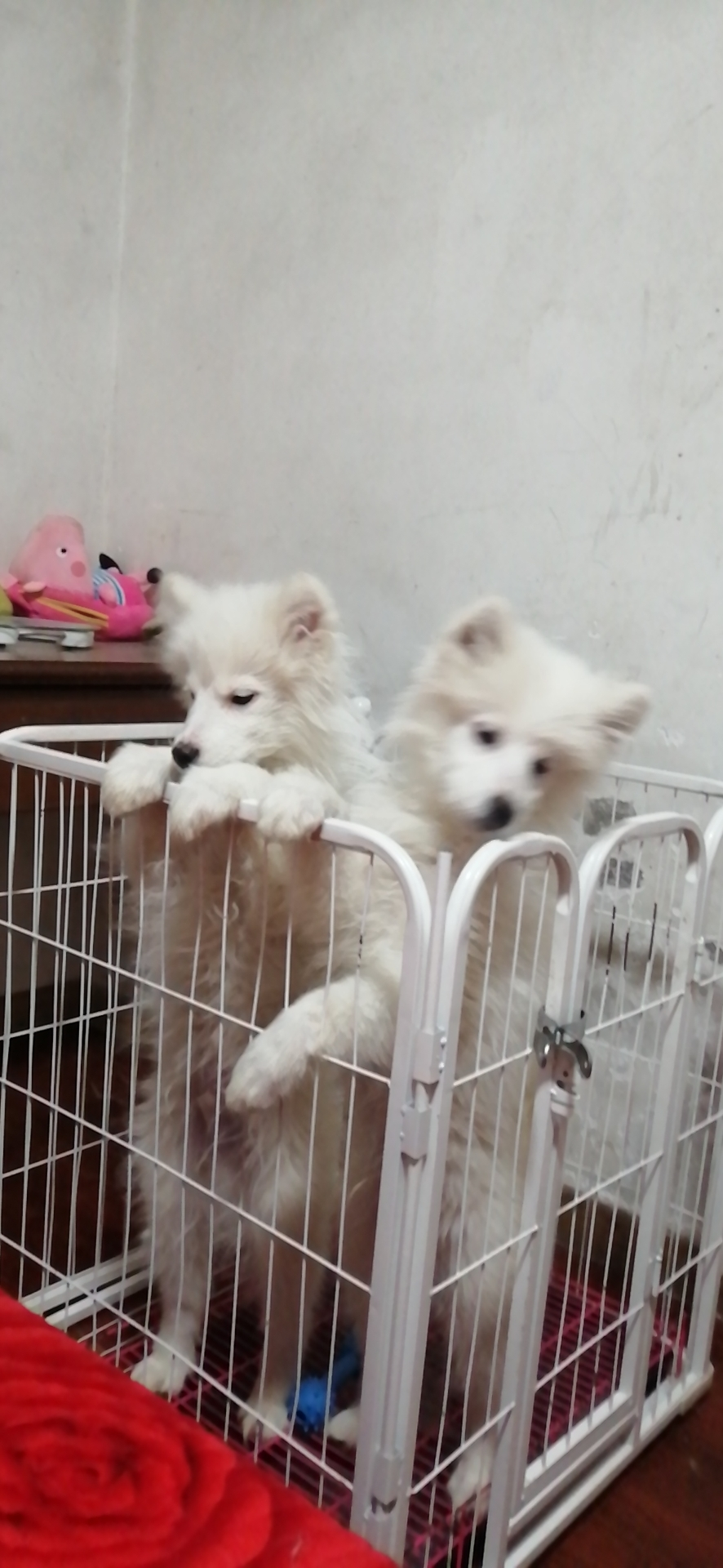 本人应要外出   出售萨摩耶6个月幼犬一