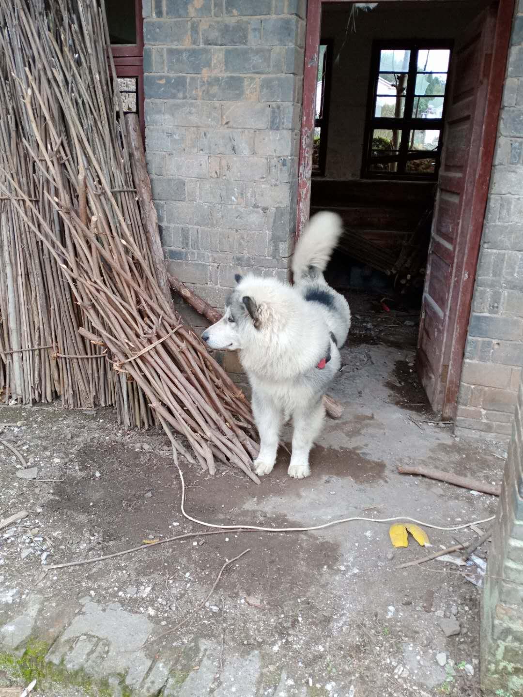 阿拉斯加犬七十多斤,公犬