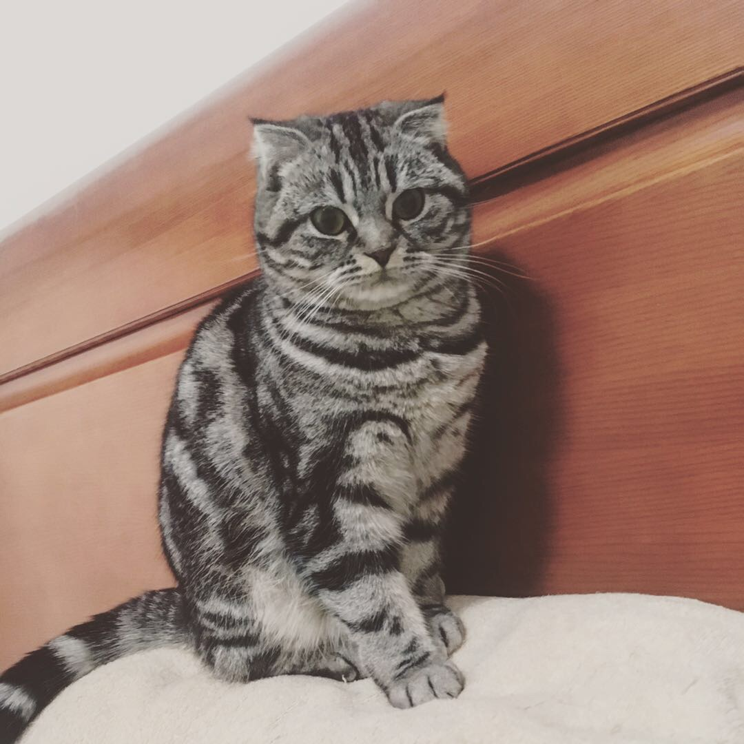 借种,美短虎斑母猫急寻配偶